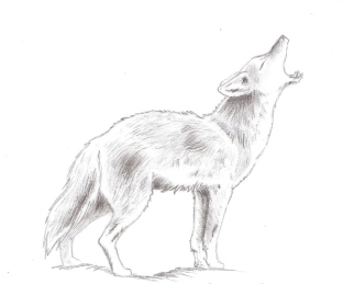 animal_drawings___coyote_by_nausicaakamiya-d5b41qu